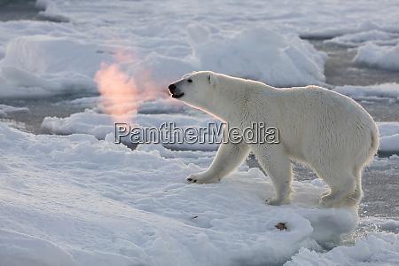 norway svalbard spitsbergen polar bear with
