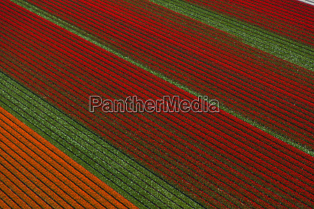 aerial view of the tulip fields