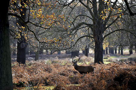 the kings deer red deer stags