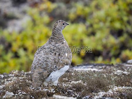 rock ptarmigan lagopus muta in autumnal