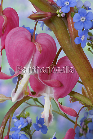 detail of bleeding hearts and brunnera