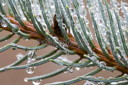 rain drops on spruce tree bough