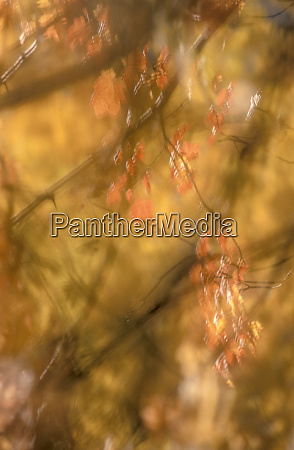 blurry background image of fall leaves