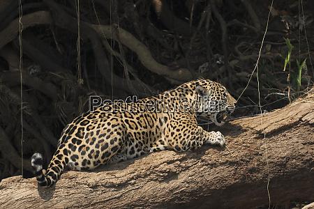 jaguar scratching post
