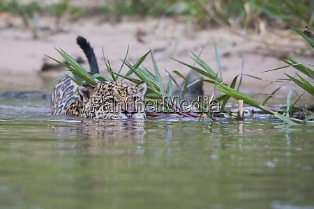 jaguar out for a swim