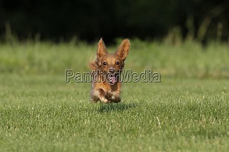 miniature dachshund running toward camera
