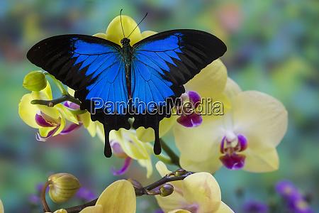 mountain blue swallowtail of australia papilio