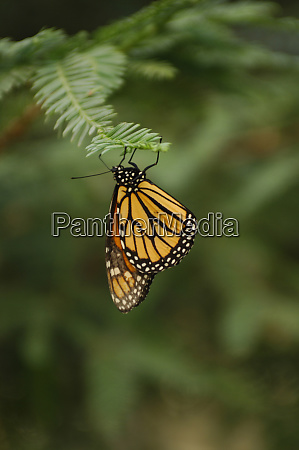 a monarch butterfly clings to the