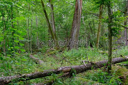 broken old alder tree and old