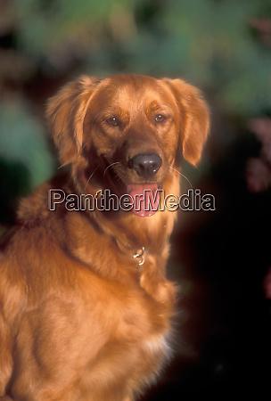 a portrait of a golden retriever