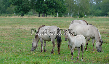 tarpan like polish horses herd