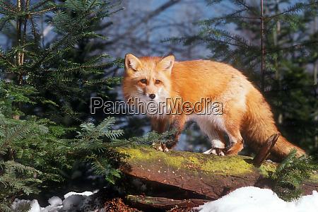 red fox vulpes vulpes on a