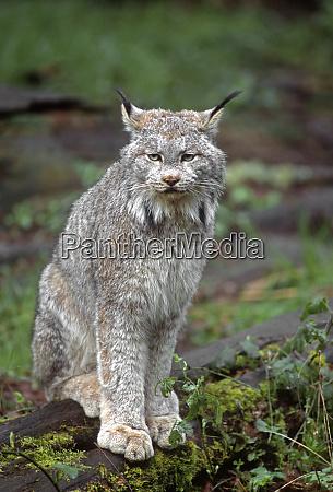 canada lynx lynx canadensis native to