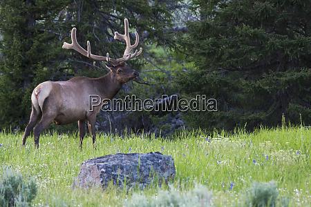 rocky mountain bull elk spring velvet