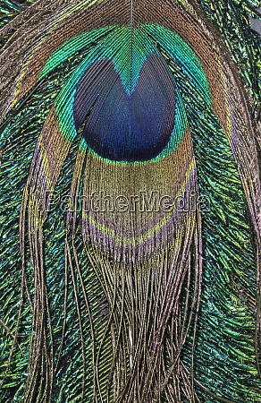 close up of peacock tail feather