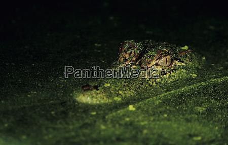 american alligator alligator mississipiensis adult in