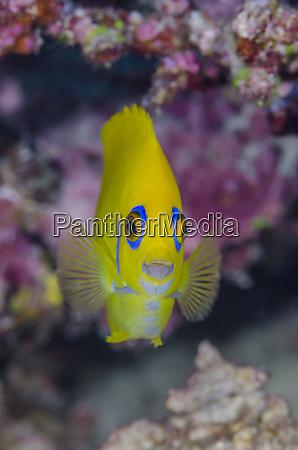 fiji close up of lemonpeel angelfish