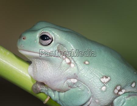 dumpty tree frog australian green tree