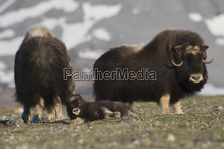 musk ox calf lounging