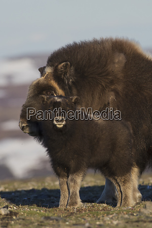 musk ox youngster with mother