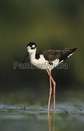 black necked stilt himantopus mexicanus adult
