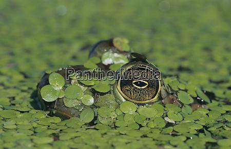 bullfrog rana catesbeiana adult in duckweed