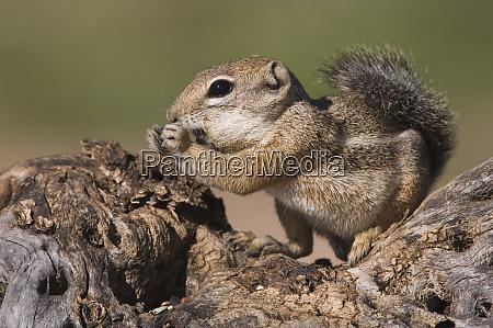 harriss antelope squirrel ammospermophilus harrisii adult