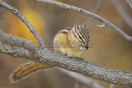 least chipmunk tamias minimus adult eating