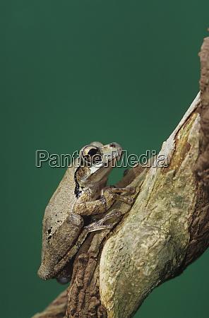 mexican treefrog smilisca baudinii adult on