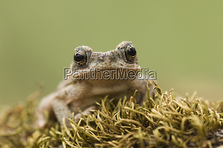 red spotted toad bufo punctatus young