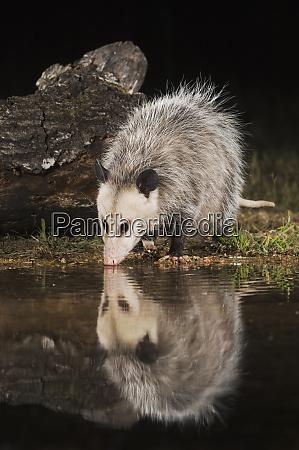 virginia opossum didelphis virginiana adult at