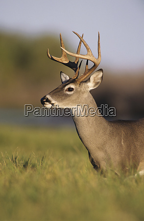 white tailed deer odocoileus virginianus buck