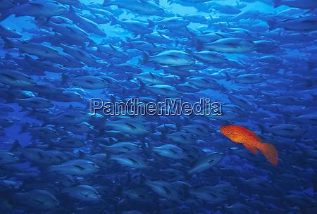 against the grain coral grouper cephalopholis