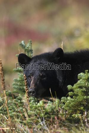 black bear autumn portrait