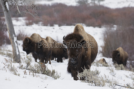bison herd on the move