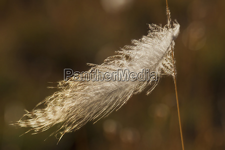 grouse feather stuck on grass stem