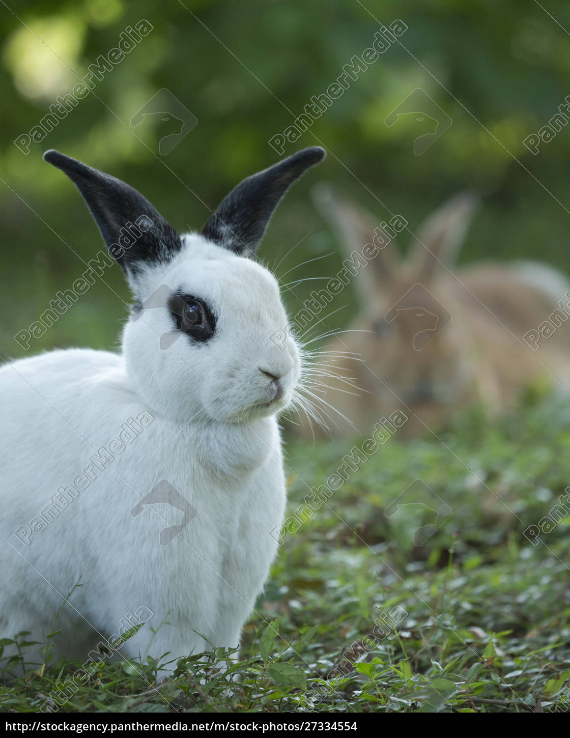 black, and, white, rex, rabbit, with - 27334554