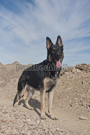german shepherd pr