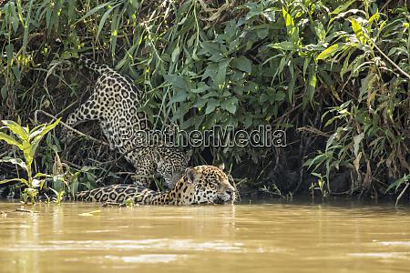 pantanal mato grosso brazil female jaguar