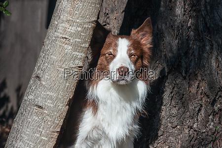 border collie watching mr