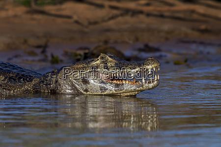 brazil mato grosso the pantanal black