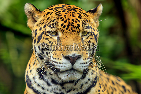 jaguar panthera onca belize zoo near
