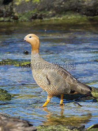 ruddy headed goose chloephaga rubidiceps in