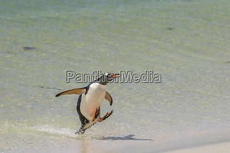 falkland islands bleaker island gentoo penguin