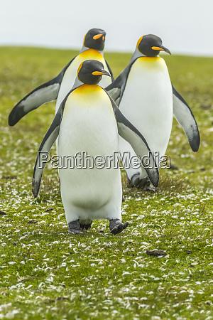 falkland islands east falkland king penguins