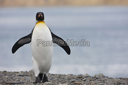king penguin aptenodytes patagonicus on beach