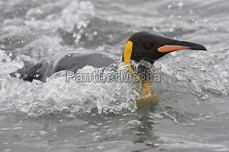 king penguin aptenodytes patagonicus in surf