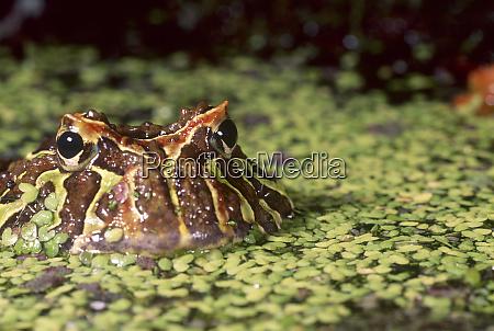 cranwells horned frog ceratophrys cranwelli brazil
