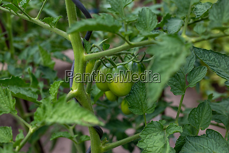 home grown unripe tomatoes in the