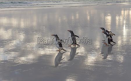 gentoo penguin pygoscelis papua on the